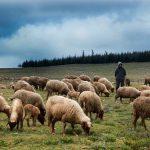 como liderar ovejas o personas